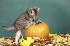 Subidas del gatito en la calabaza. Imagen de archivo libre de regalías