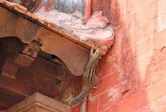 Subidas del hipmunk del ¡de Ð en un edificio La India Imagenes de archivo