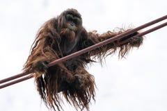 Subidas del orangut?n en la O-l?nea curso de la cuerda imágenes de archivo libres de regalías