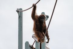 Subidas del orangut?n en la O-l?nea curso de la cuerda en el parque zool?gico nacional de Smithsonian en Washington DC imágenes de archivo libres de regalías