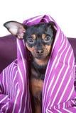 Subidas pequeñas de un perrito fuera de la manta , un perrito despertado, asustado imagen de archivo