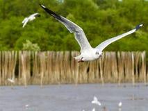 Subir branco da gaivota Fotografia de Stock