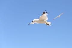 Subir considera a gaivota Imagem de Stock