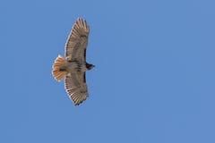 Subir vermelho do falcão da cauda Fotos de Stock Royalty Free