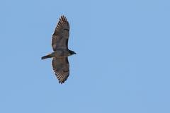 Subir vermelho do falcão da cauda Imagem de Stock