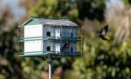 Subis Progne птиц фиолетового Мартина летают и садятся на насест вокруг birdhous Стоковые Изображения RF