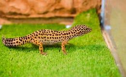 Sublethal lamparta gekon siedzi na zielonej trawie w zwierzę domowe sklepie w t fotografia stock