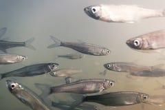Submarino de agua dulce de los pescados del cebo Cierre triste común para arriba imagenes de archivo