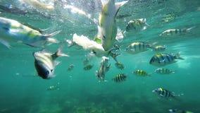 Submarino de alimentación de los pescados de la mujer caucásica atractiva joven Escuela de pescados coloridos almacen de metraje de vídeo