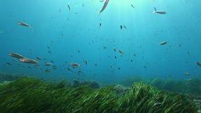 Submarino de la naturaleza - pequeño swimimng de los pescados en un campo verde del posidonia metrajes
