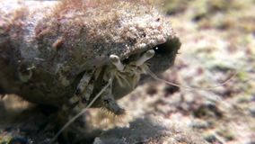 Submarino del ermitaño del cáncer de Shaab Sharm almacen de video