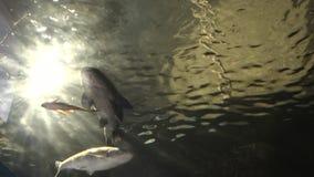 submarino del fondo de la luz del sol 4K, carpa y otros pescados nadando en acuario almacen de metraje de vídeo