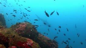 Submarino despredador asombroso del tiburón de las Islas Galápagos en busca de la comida en el fondo del mar almacen de video