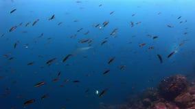 Submarino despredador asombroso del tiburón de las Islas Galápagos en busca de la comida en el fondo del mar almacen de metraje de vídeo