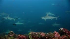 Submarino despredador del grupo del martillo del tiburón de Hammerhead en busca de la comida en el fondo del mar almacen de video