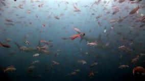Submarino despredador del martillo del tiburón de Hammerhead en busca de la comida en el fondo del mar almacen de video