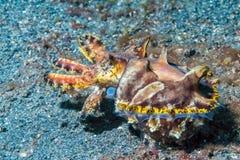 Submarino llamativo de las jibias coloridas del calamar Foto de archivo libre de regalías