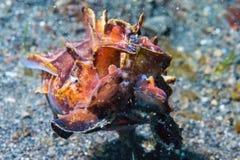 Submarino llamativo de las jibias coloridas del calamar Foto de archivo