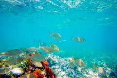 Submarino mediterráneo con la escuela de los pescados del salema Fotografía de archivo