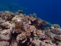 Submarino sano del arrecife de coral en Palau con dos Clownfish imagen de archivo libre de regalías