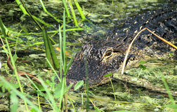 Submerged American alligator. Partially submerged American alligator in swamp Royalty Free Stock Image