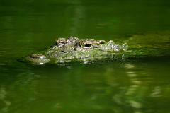 Submerged crocodile eyes Stock Photo