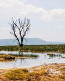Dead tree at Lake Nakuru, Kenya. A submerged dead tree at Lake Nakuru. The trees have been drying up due to the rising water levels of the lake, Rift Valley royalty free stock image
