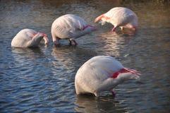 Submerged flamingos Stock Images