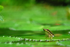 Submerged frog 2. A tropical frog submerged in a pond royalty free stock photos