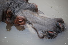Submerged hippo Stock Images