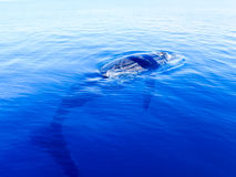 Submerged humpback whale in the deep blue ocean Royalty Free Stock Image