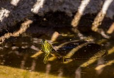 Partially submerged painted turtle. A submerged painted turtle raises its head above the water stock images