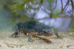 Submersed Alpine Newt with Daphnia Royalty Free Stock Image