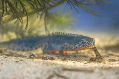 Submersed Alpine Newt in a pool Royalty Free Stock Photo