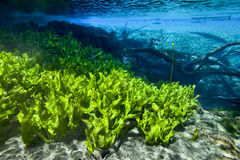 Submersed Plants Scenic - Cypress Springs. Submersed aquatic plants look like a field of lettuce along the shoreline in the crystal clear freshwater of Cypress Stock Photos