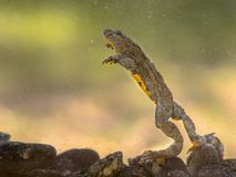 Submersed Yellow bellied toad. Submersed Yellow-bellied toad (Bombina variegata) swimming under water with blurred background Royalty Free Stock Photography