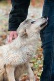Submissão loura do lobo (lúpus de Canis) foto de stock