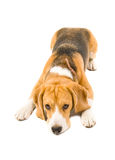 Submissive beagle dog Royalty Free Stock Photos