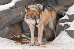 Submissive Mexican Gray Wolf Royalty Free Stock Photography