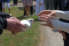 Submit the wedding dove. Man is submitting the white wedding dove to the bride, close up Stock Photography