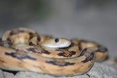 subocularis bogertophis Стоковое Фото