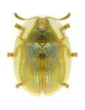 Subreticulata Cassida жука Стоковая Фотография