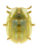 Subreticulata de Cassida de scarabée photographie stock