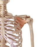The subscapularis Stock Image