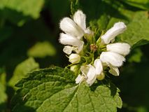 Subshrub, Plant, Bramble, West Indian Raspberry royalty free stock images