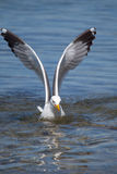 Subsided Seagull stock photo