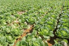 Subsp do rapa do Brassica pekinensis, exploração agrícola vegetal do campo Foto de Stock