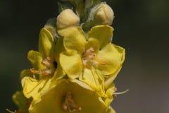 Subsp thapsus Verbascum giganteum Стоковое Фото