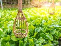 Substance thaïlandaise traditionnelle de récolteuse à long manche de fruit près du coucher du soleil de jacinthe de rivière et d' Images libres de droits