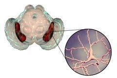 Substantia-Nigra des midbrain lizenzfreie abbildung